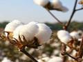 Cotton – القطن يستعد لرحلة جديدة من الهبوط
