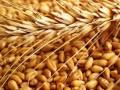 تداولات السلع والهبوط يخيم علي أسعار القمح