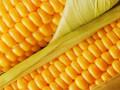 اسعار السلع تنتظر اداء عقود الذرة خلال الفترة المقبلة