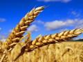 توقعاتنا تشير إلى ارتداد مؤقتة لأسعار القمح